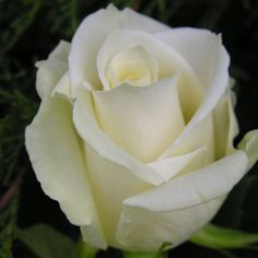 White Rose Escimo, Pink Escimo is very light and lovely, Akita, another small white