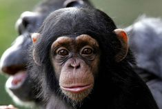 Our common ancestors looked like APES A new study led by researchers at UC San Francisco shows that important clues lie in the shoulder - and reveal our common ancestor looked a lot like a chimp or gorilla,. Cute Baby Animals, Animals And Pets, Beautiful Creatures, Animals Beautiful, Los Primates, Types Of Monkeys, Monkey World, Magnificent Beasts, Ape Monkey