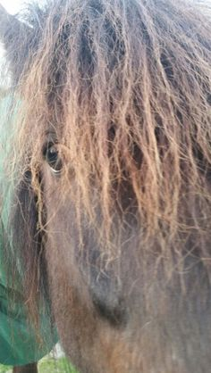 Icelandic horse named Jón Sig, 7 year old gelding - isn't he beautiful?