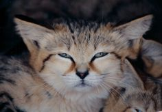 Sand Cat at the Big Cat Rescue near Tampa