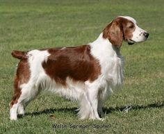 The Welsh Springer Spaniel is a breed of dog and a member of the spaniel family. Welsh Springer Spaniel, English Springer Spaniel, Dog Day Afternoon, Dog Best Friend, English Mastiff, Happy Dogs, Cute Dogs, Funny Dogs, Dog Breeds