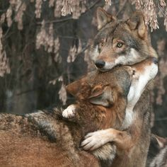 wolf love: one of the only creatures on the planet to mate for life Wolf Love, Animals And Pets, Funny Animals, Cute Animals, Wild Animals, Animal Memes, Baby Animals, Talking Animals, Wolf Pictures