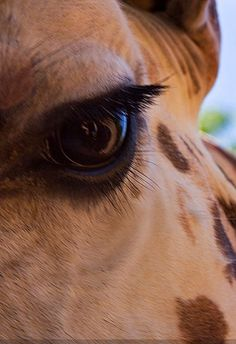 Close up of a giraffe's eye.