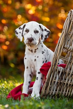 *Hach* by Sandra Schürmans, via Pretty liver Dalmatian puppy. *Hach* by Sandra Schürmans, via Pretty liver Dalmatian puppy. Beautiful Dogs, Animals Beautiful, Cute Animals, Photos With Dog, Family Photos, What Dogs, Pet Photographer, Puppy Pictures, Doge