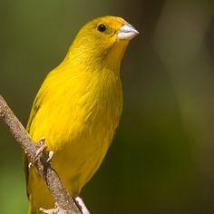 Confira lindas fotos de canário-da-terra e compartilhe com seus amigos! Pretty Birds, Beautiful Birds, Canario Da Terra, Serin, Color Shapes, Exotic Birds, Bird Watching, Artwork, Yellow Birds