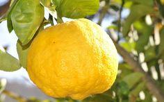 Vous cherchez un citron juteux? Astuce …