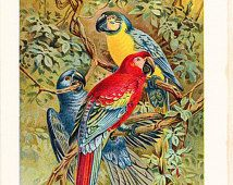 1901 Bird Print - Macaws Parrots - Vintage Antique Book Plate for Natural Science or History Lover Great for Framing 100 Years Old