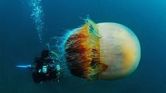 #3. A diver swims alongside a Nomura's jellyfish. These sea creatures can weigh up to 440 lbs.