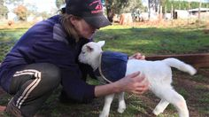 Peter Pan the Lamb Happily Wiggles His Tail When Pet or Fed