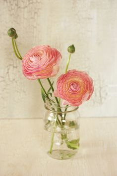 Pink Ranunculus asiaticus in clear mason jar