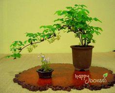 Image from http://www.happybonsai.com/wp-content/uploads/2010/04/Mame-Shohin-Bonsai-02.jpg.