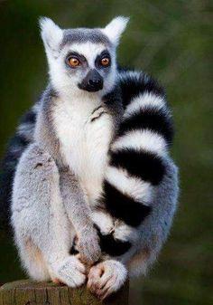 Zazoo lemur