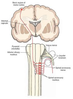 340 Best Central Nervous System Images Central Nervous System