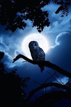 Night owl Moonlight ✿⊱╮ by VoyageVisuel Beautiful Owl, Animals Beautiful, Cute Animals, Beautiful Things, Tier Wallpaper, Animal Wallpaper, Owl Wallpaper Iphone, Iphone Wallpapers, Owl Bird