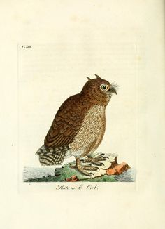 Short Eared Owl | A general history of birds / Winchester [England] :Printed by Jacob and Johnson,1821-1828..