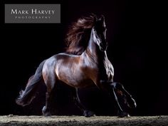 Fine Art Equine Portrait, Galloping Friesian by Mark Harvey  Photography, Horses, Movement, Art, Refined, Uk Horse Photographer, Refined Equine Portraiture.
