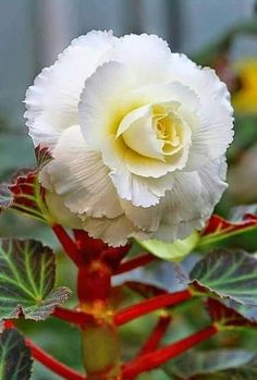 Gabriella's beautiful world: Begonia 'And some can pot begonias and some can bud a rose. And some are hardly fit to trust with anything that grows.' - Rudyard Kipling Photographer: unknown to the author (Pinterest) http://bit.ly/2LoL6jz