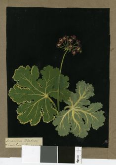 1780 Collage of coloured papers, with bodycolour and watercolour, on black ink background © The Trustees of the British Museum Nature Illustration, Botanical Illustration, Botanical Drawings, Botanical Prints, Artist Sketchbook, Flower Graphic, Plant Design, British Museum, Geraniums