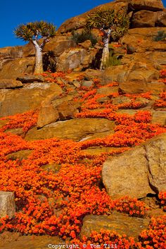 Namaqualand wildflowers, Namaqualand, South Africa, one of the world's largest wildflower blooms, Dimropotheca sp. Quiver tree, Aloe dichotoma