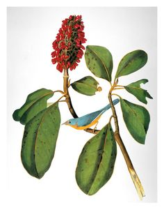 Warbler by John James Audubom (1785-1851)