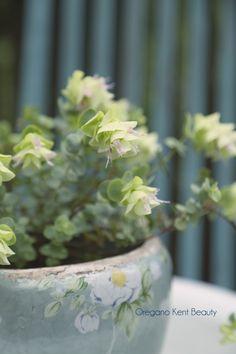Oregano Kent Beauty|Enjoy the Little Things