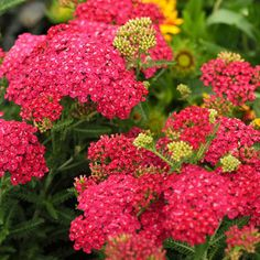 """Saucy Seduction™ Achillea Plant - blooms early summer through fall, good for cut flowers, flat-top blooms grow in a cluster, deadhead for more blooms, 24"""" x 24"""", deer resistant, easy to grow perennial"""