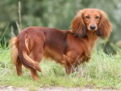 beautiful long haired doxie #cute #dachshund