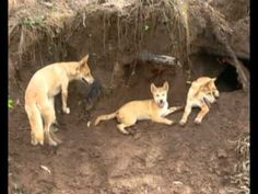 Dingoes usually live in small family groups, also known as packs. Each dingo pack has its own territory and leader — the alpha male.