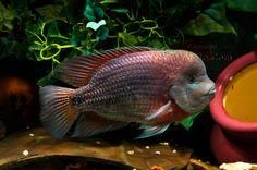 Today in the Fishroom~11/23/08 P. Motaguensis, Managensis & Breidohri - Aquarium Forum