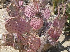 Pink Prickly Cactus