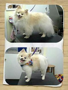 Pomeranian haircut - by professional groomer - Melissa Benham www.pawplay4dogs.com