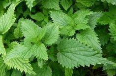Ortie : propriétés, bienfaits, recettes et vertus de cette plante