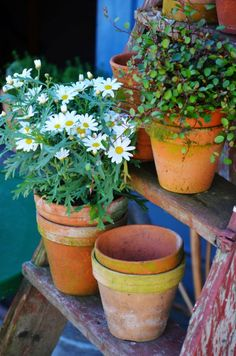 Clay pots in the garden - arranged on old ladder...
