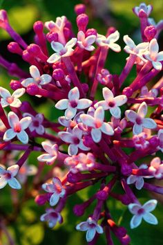 Bloomerang Lilac-bloom heavily in spring, take a resting period, then start up again in midsummer and continue until frost
