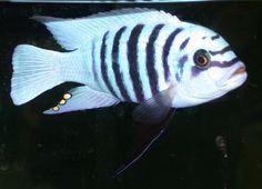 Metriaclima Zebra Chilumba Maison Reef