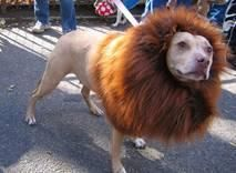 lion dog #1 ... our 65-lb brindle Staffordshire Terrier mix, Ruby, would look good in this costume