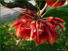 Ceibo - National Flower of Uruguay