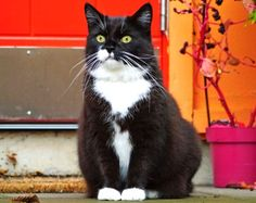 Tuxedo Cat Facts and personality. Tuxedo cats are very friendly in nature and also extremely active. They are more vocal as compared to the Persian breeds Siamese Cats, Cats And Kittens, Ragdoll Kittens, Tabby Cats, Funny Kittens, Bengal Cats, Cat Allergies, Owning A Cat, Here Kitty Kitty