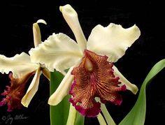 Cattleya dowiana Bateman & Rchb.f.