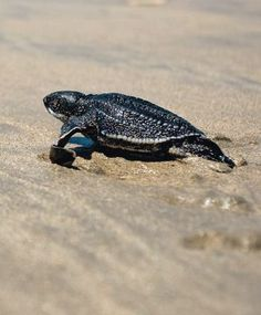 Leatherback turtle. Nesting season starts in March