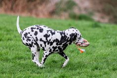 """Shamontiel wrote """"The 15 Best Toys For Dalmation"""" #dogmom #dogdad #petowner #dogowner Best Dog Toys, Dog Chew Toys, Best Dogs, Medium Sized Dogs, Dog Chews, Dalmatian, Large Dogs, Dog Owners, Dog Treats"""