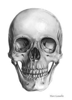 "Saatchi Art Artist Marc Gosselin; Drawing, ""Skull, Anterior view"" #art"