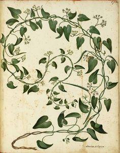775 Vintage Botanical Flowers vintage public domain picture of a botanical vine Vine Drawing, Plant Drawing, Drawing Flowers, Colour Drawing, Ivy Tattoo, Vine Tattoos, Illustration Botanique, Illustration Blume, Herbs Illustration