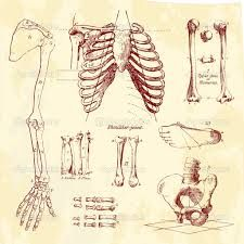 human bones - Google Search