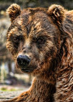 "earthandanimals: "" Alaska Brown Bear Grizzly (by dentite) "" Interesting editing. Nature Animals, Animals And Pets, Cute Animals, Wild Animals, Baby Animals, Beautiful Creatures, Animals Beautiful, Alaskan Brown Bear, Love Bear"
