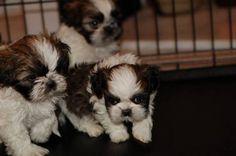 Shitzu Puppies