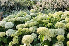 This month's Garden Flowers post, which I write with garden designer Lisa Cox, features Hydrangea arborescens 'Annabelle'.
