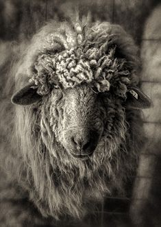 Dan Routh Photography: Sheep in B&W