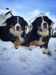 Snowangels - bernese mountaindogs bernersennen