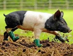 A pig going out to work in the mud for the day!